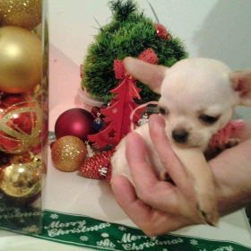 "Mini civave "" Princess Chihuahua Kennel """